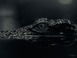 Nile Crocodile by Pronus