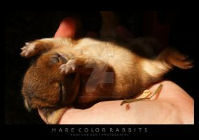 Netherland Dwarf, Hare Color by WolfsbeRoses