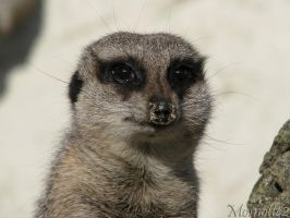 The eyes of the meerkat by Momotte2