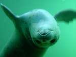 Seal II by ButterflyFish