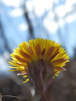 Coltsfoot by Oltsu95