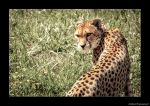 Toronto Zoo [Cheetah]: Mahala,s Glare by AmbientExposures