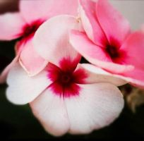 Pink  white flowers by Shatha92