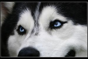Blue Eyes Of Husky by PlatinumGirl