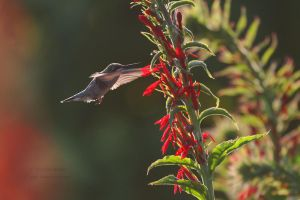 Hummingbird and Cardinal Flower by Karl-B