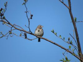 song sparrow by Nipntuck3