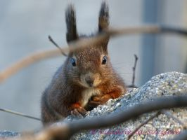 Squirrel 31 by Cundrie-la-Surziere