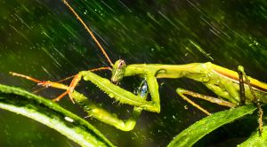 Praying Mantis in The Rain by borda
