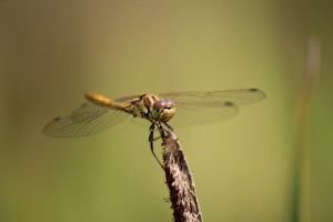 Dragonfly by harlia