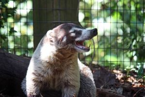Coatis by magicia