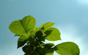 Raspberry Leaves 2560x1600 by hermik