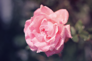 Pink Droplet by Narodenia