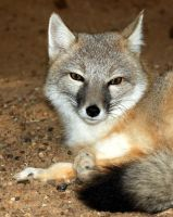 Swift Fox Gorgeous by Jack-13