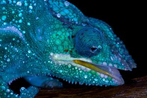 Thirsty chameleon by AngiWallace