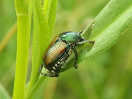 Japanese Beetle by AppleBlossomGirl