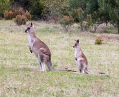 Eastern Grey Kangaroos by mintymintymid