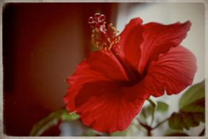 Hibiscus in Bloom by Lydia-distracted