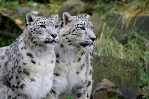 Snow Leopard Couple by Photilo