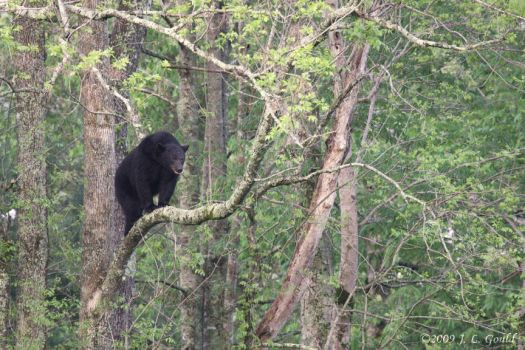 Black Bear In A Tree by ThisWomanWanders