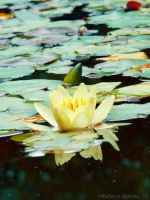 water lily by NatalieAster