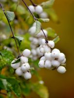 bush and white berries by SvitakovaEva