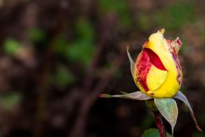 Autumn Rose Buddy  G92 7089 by Partists