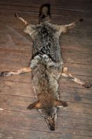Raw Dark Coyote Pelt by NaturePunk