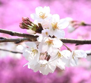Japanese Spring 2015 - 25 by caffinefreek