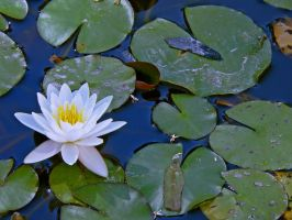 water lilly by clandestine-stock