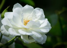 White Rose by sztewe