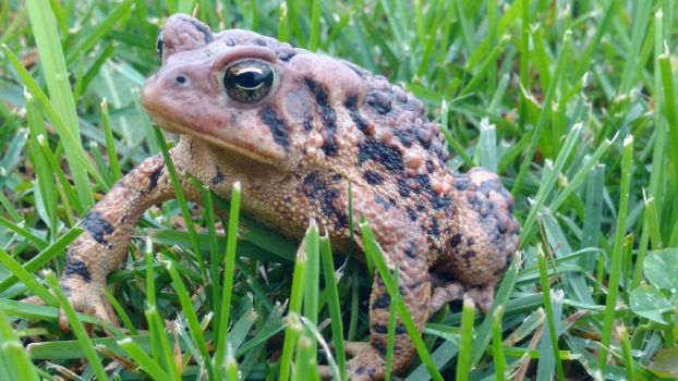 Toad in the Grass by MagentaMachina