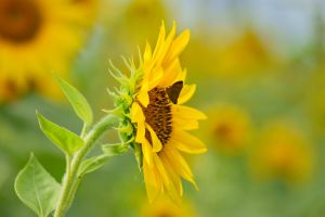 Sunflowers August 2014 10 by EJordanPhoto