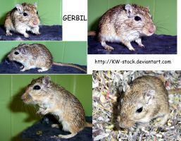 Gerbil pack I by KW-stock