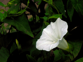 Morning Glory by Daemare