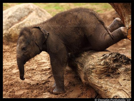 Baby Elephant Gymnastics by TVD-Photography