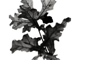 Black and White Leaves by blacklacefigure