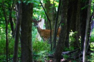 Summer Buck 1 by S-H-Photography