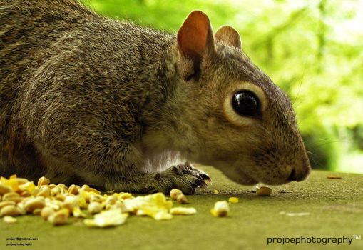 Squirrel at lunch by projoe45