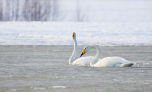 Whooper Swans by Nitrok