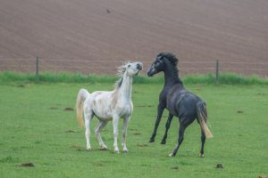 Black and White Warmbloods Playing on Pasture by LuDa-Stock