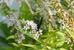 Giant Black Wasp, Sipping Nectar 6 by Miss-Tbones