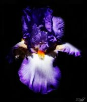 Iris Sparkle by sridge