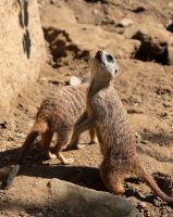 Suricates by NorthernLand