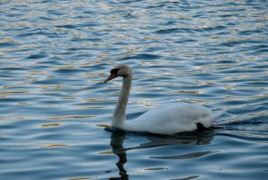 A swan on one of Copenhagen canals by Dawnweaver