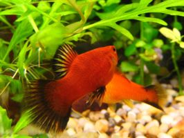 Red Platy by Fishybobo
