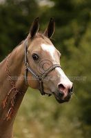 Akhal-Teke - young mare by Passionata4