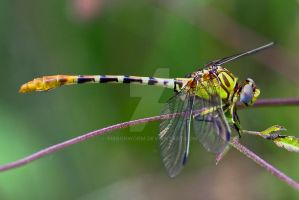Sulphur-Tipped Clubtail by ribbonworm