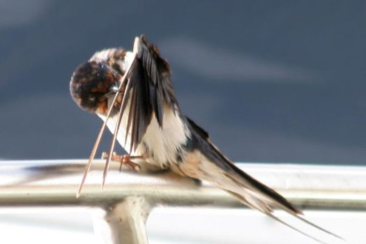 Swallow preening, on boat by TomiTapio