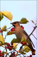 Waxwing by Starfall00