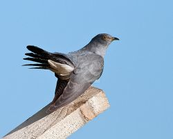 Cuckoo 2a by pixellence2